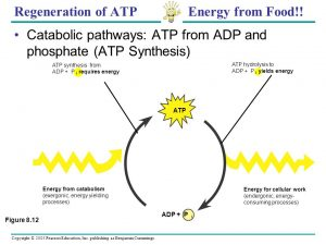 Regeneration of ATP Energy from Food!!